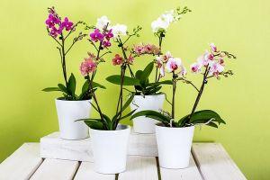 Orkide Bakımı Evde Nasıl Yapılır?